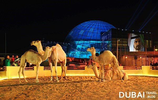 camels dubai global village
