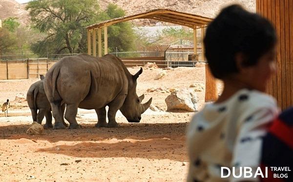 rhino al ain zoo