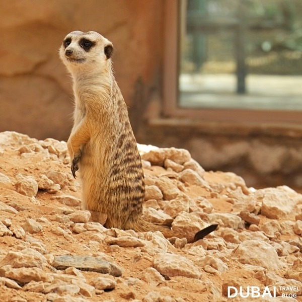 al ain meerkat