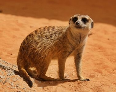 Photos of an Adorable Meerkat in Al Ain Zoo
