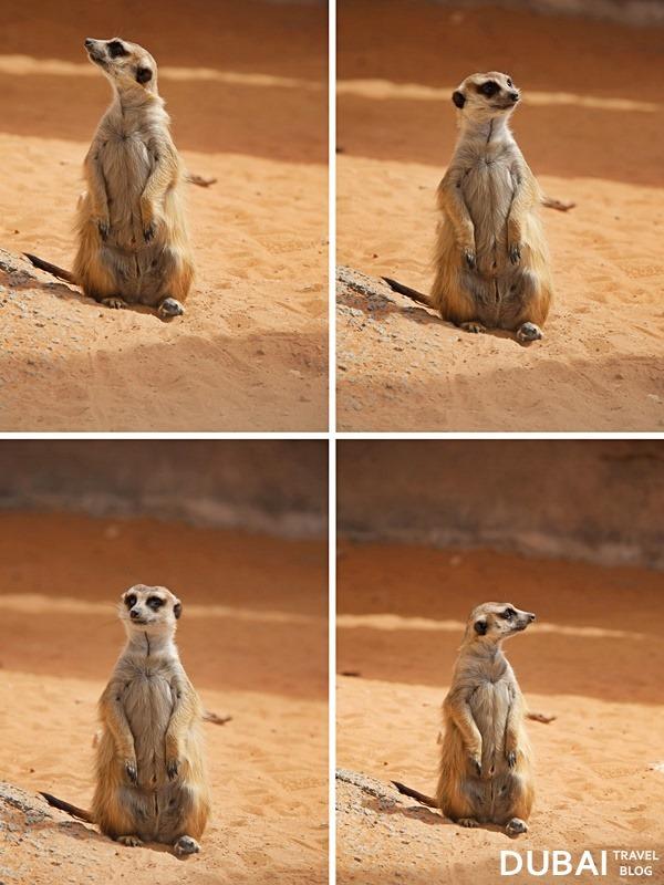 timon meerkat UAE