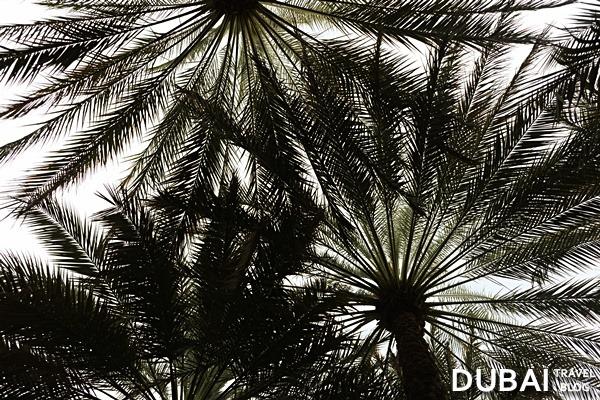 al ain trees oasis