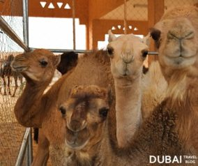 Lots of Camels at the Al Ain Camel Market!