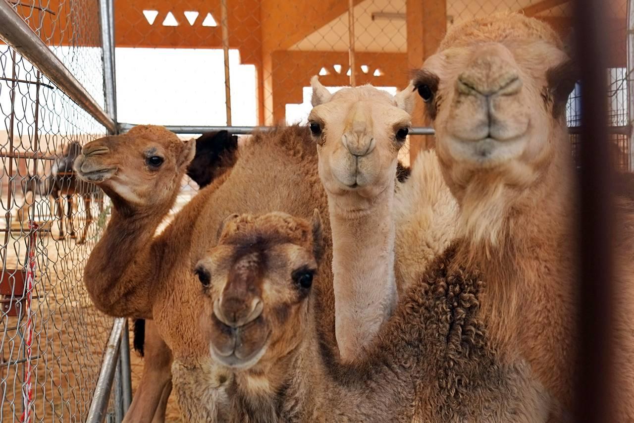 camels at al ain camel market