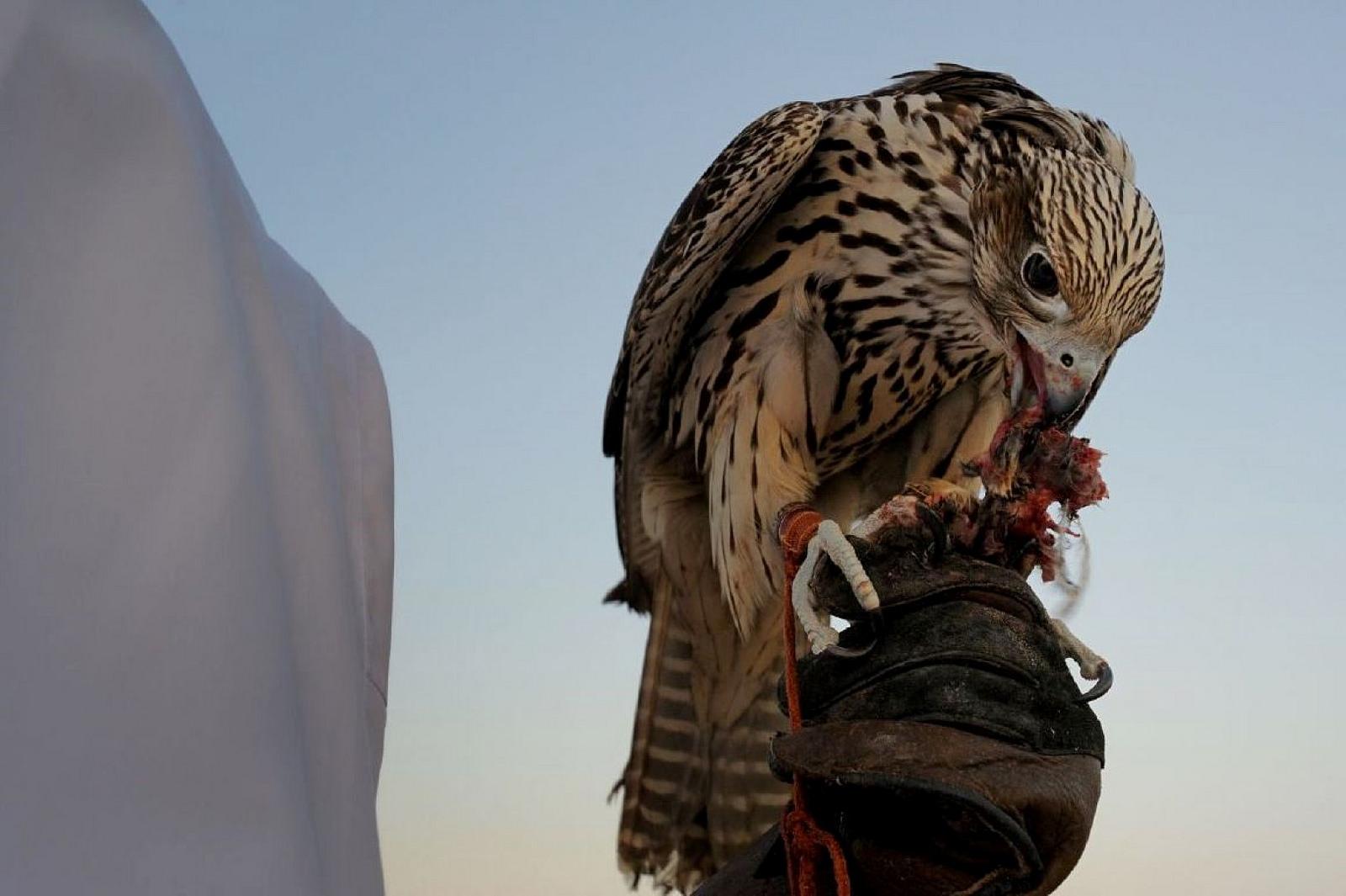 falconry uae