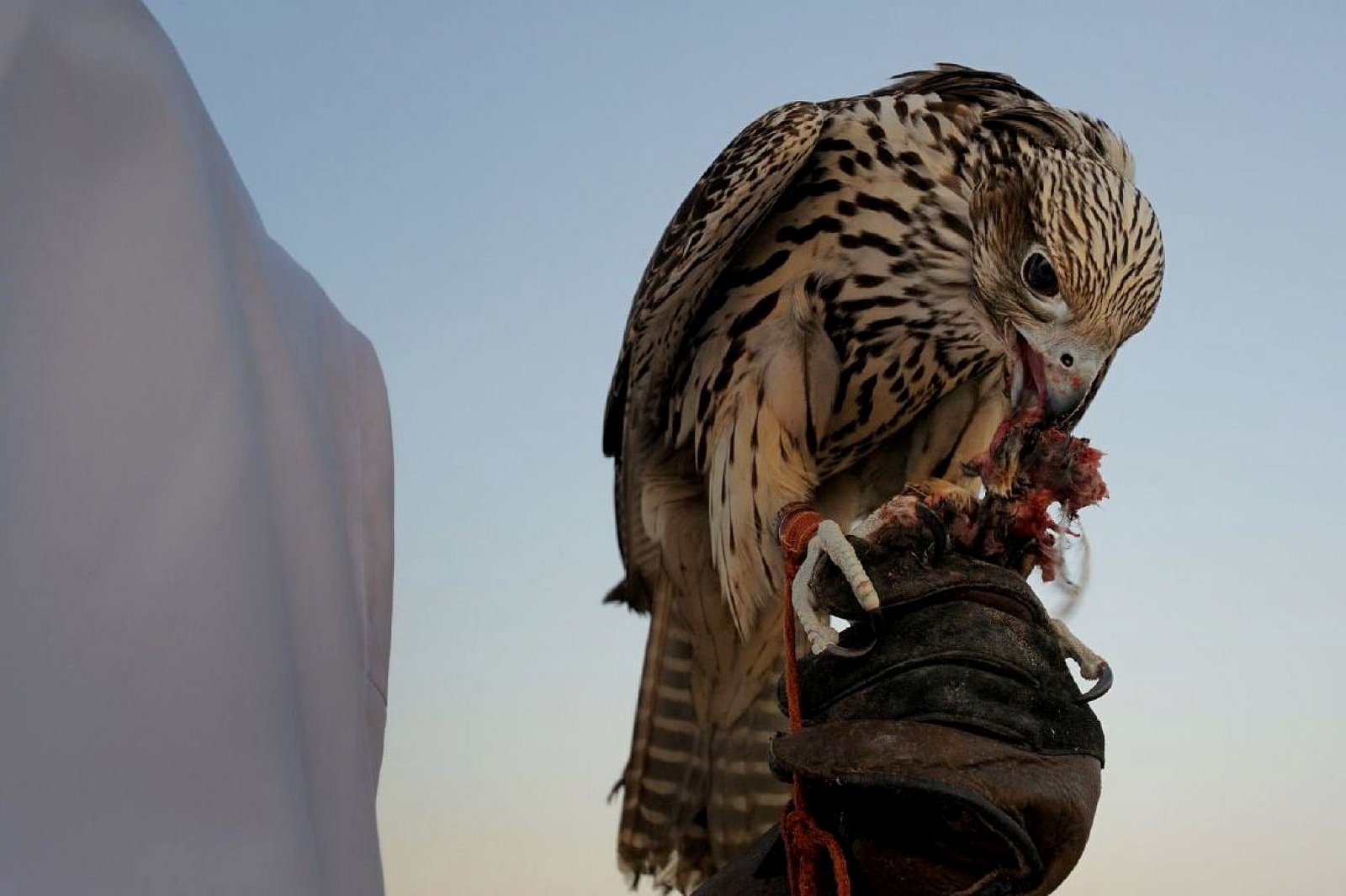 falconry uae