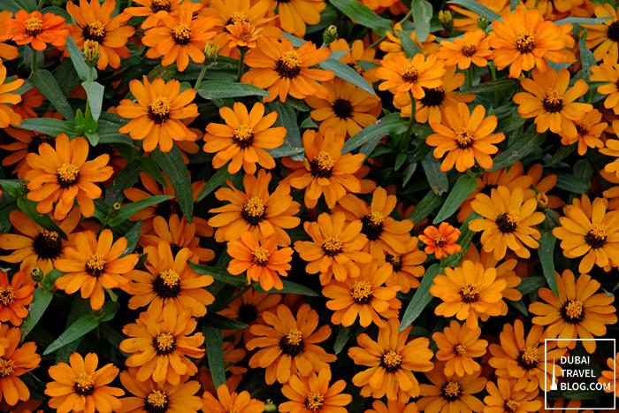 orange flowers dubai miracle garden