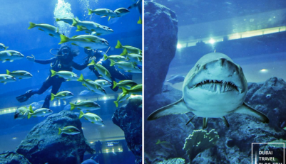 Shark Dive Experience in the Dubai Aquarium