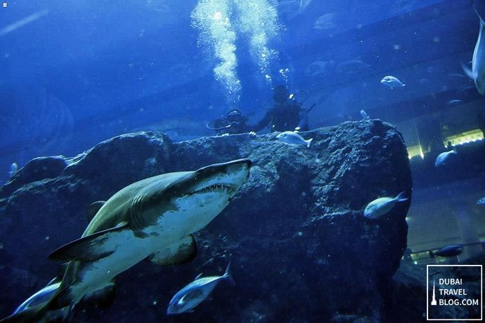 shark dive dubai aquarium