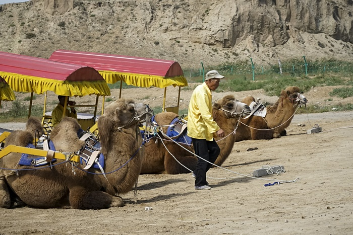camel carriage ningxia