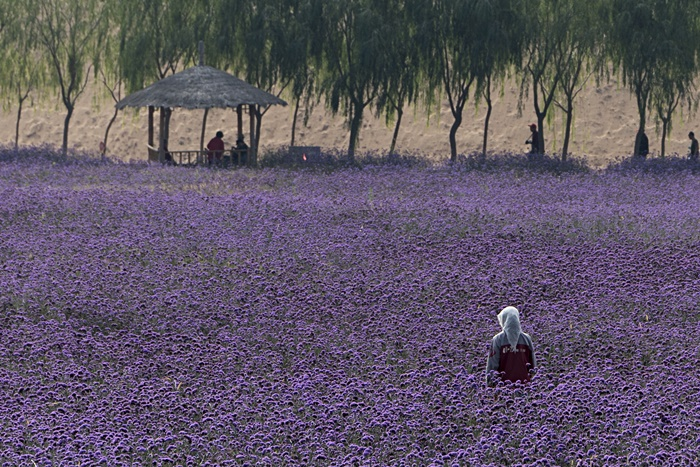 jin sha purple flowers