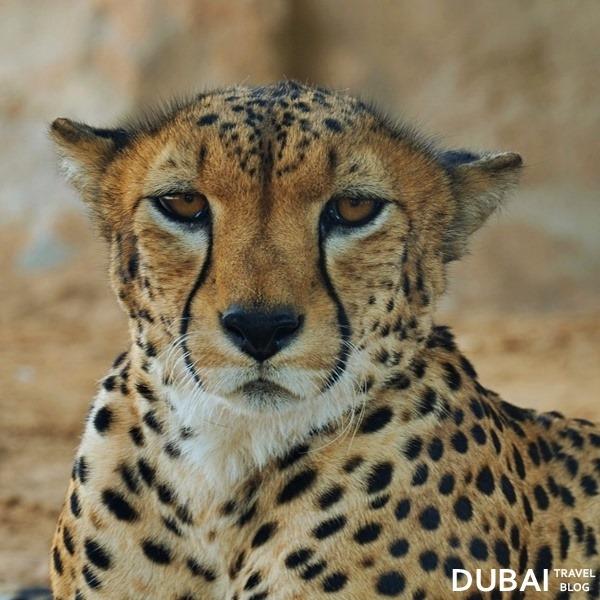 al ain zoo cheetah