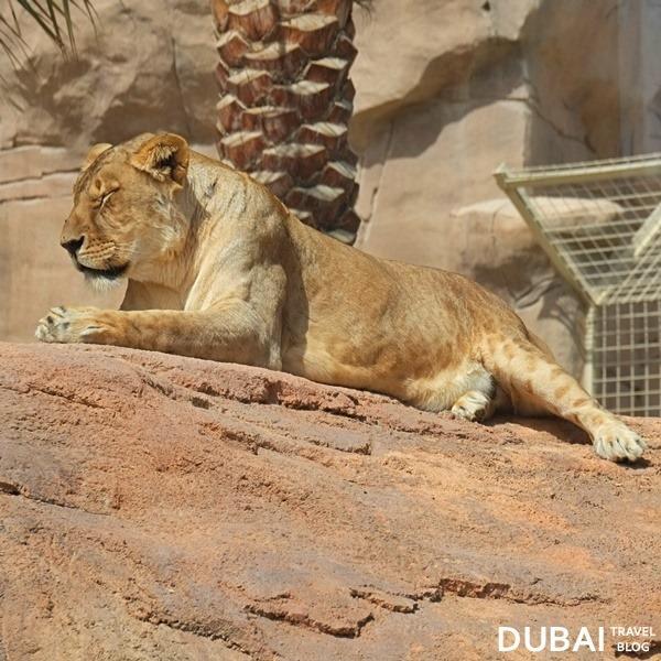 al ain zoo lionness