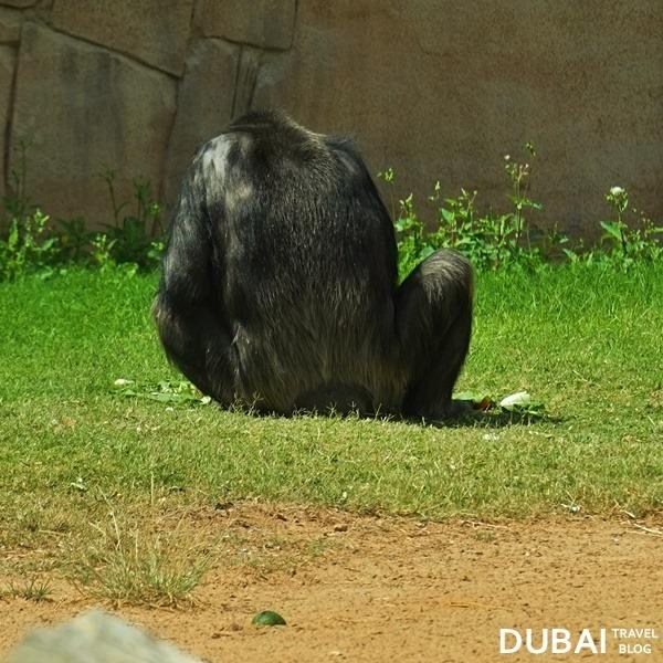 chimpanzee al ain zoo