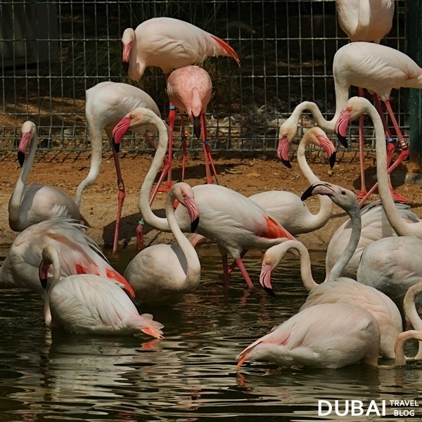 flamingos al ain zoo