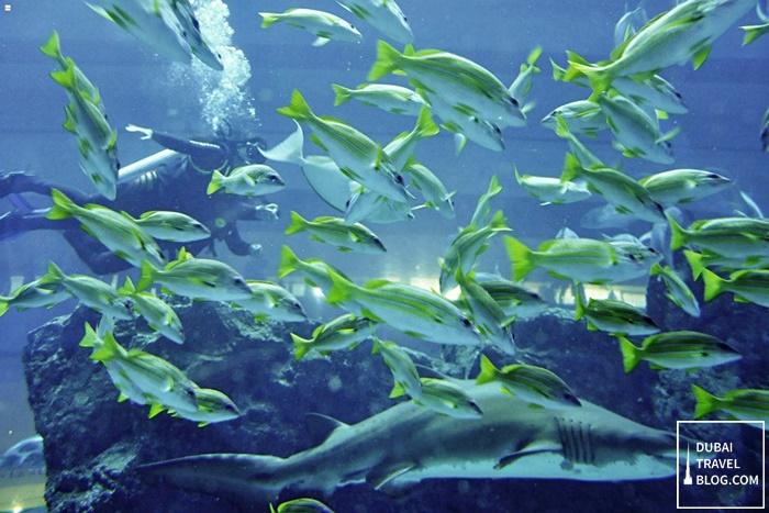 dubai aquarium dubai mall shark dive