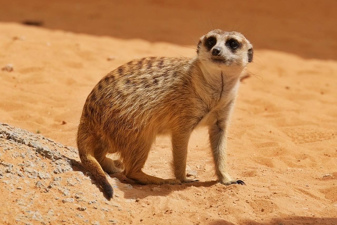 meerkat al ain zoo abu dhabi