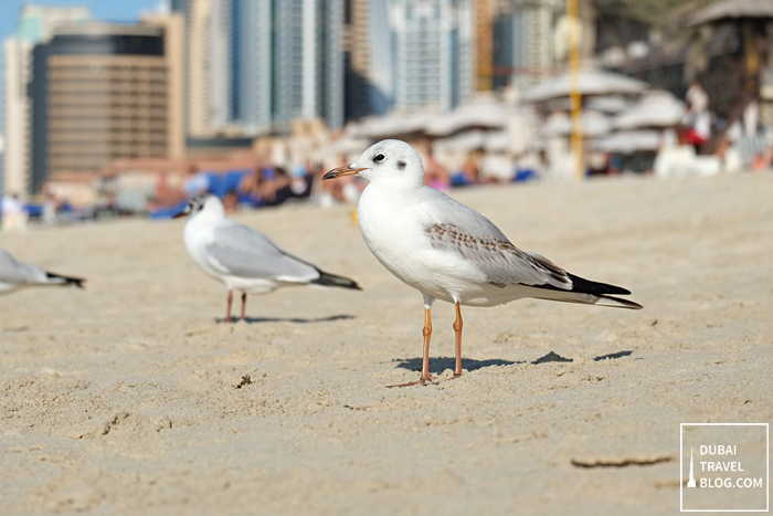 Hilton JBR birds