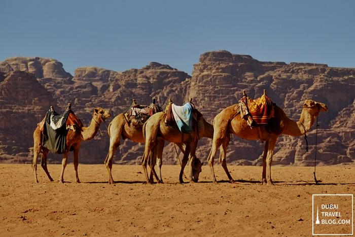 camels-in-wadi-rum-jordan