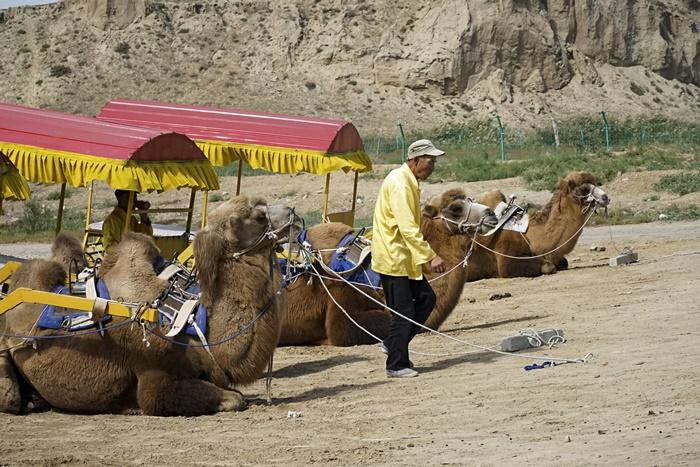 camel carriage ningxia
