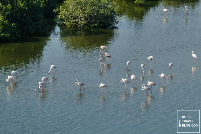 flamingos in ajman