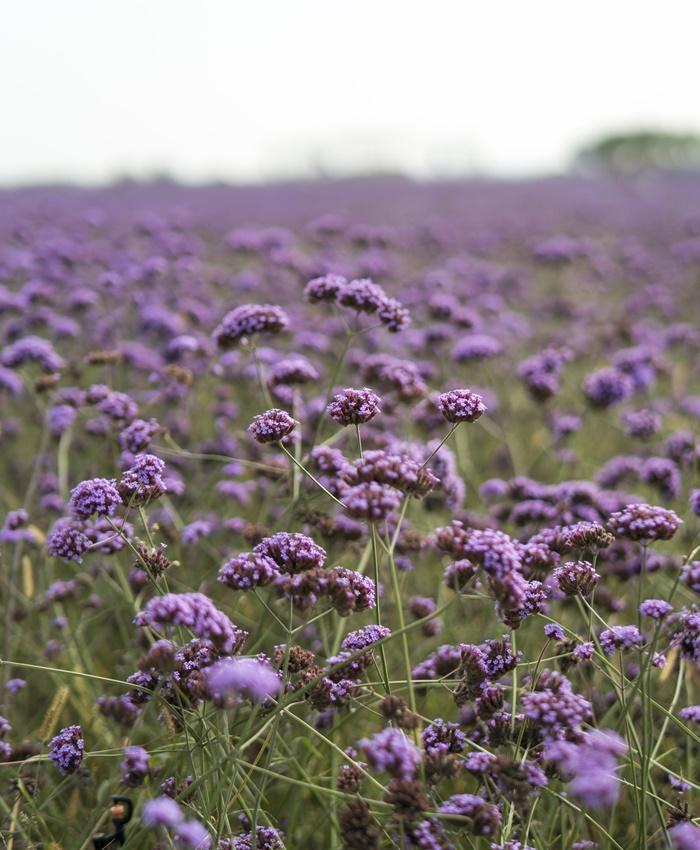purple flowers fields ningxia
