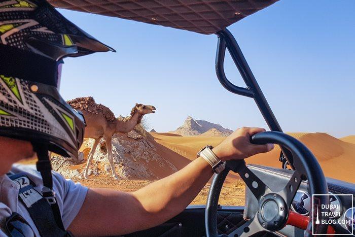 desert dune buggy camel