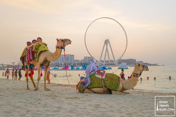 camels in jbr dubai